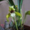 Maxillaria porphyrostele 1