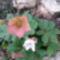 Első tavaszi virágom