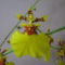 Oncidium flexusom 1