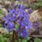 ligeti csillagvirág (Scilla vindobonensis).