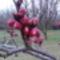Bimbós kajszifa