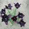 Fekete Tulipán