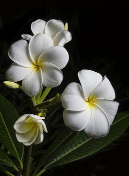 virág88333 fehér