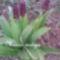 Vad orchidea bimbósan