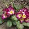 Tavaszi virágaim,2016 11