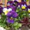 Tavaszi virágaim,2016 13