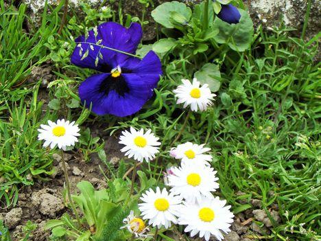Tavaszi virágaim,2016 15