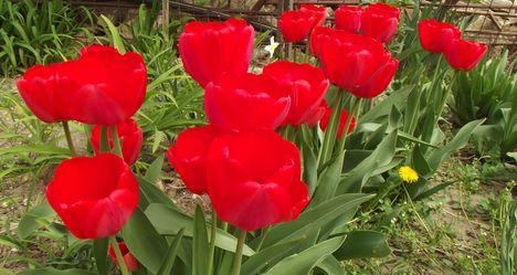 Tavaszi virágaim,2016 16