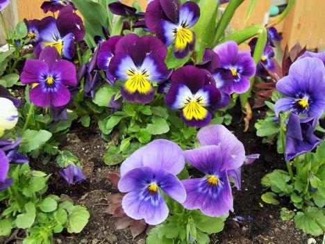 Tavaszi virágaim,2016 3