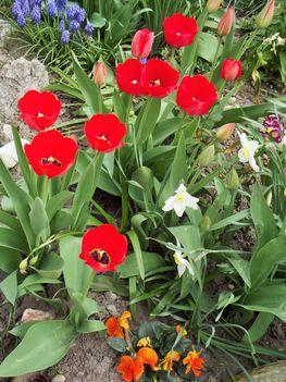 Tavaszi virágaim,2016 8