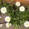 Tavaszi virágaim,2016 9