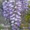 Lila_akac_1984170_3729_s