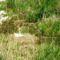 Hattyú fészek a Kertész gát lábánál, a Mosoni-Duna legfelső szakaszán, Rajka 2016. április 22.-én 10