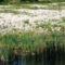 Hattyú fészek, Kertész gát a Mosoni-Duna legfelső szakaszán, Rajka 2016. április 22.-én 13