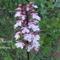Vad orchidea