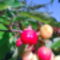 Cseresznye_1988145_9995_s
