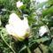 Majusi_rozsa_1988008_4686_s