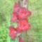 kardvirág 4