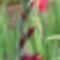 kardvirág 7
