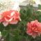 rózzák 1