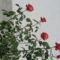 rózzák 2