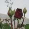 rózzák 4