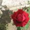 rózzák 5