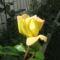 rózzák 7