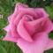 rózzák 8