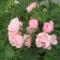 rózzák 9