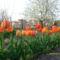 Tulipán erdő