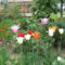 tulipánjaim