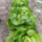 Fejes saláta nyáron