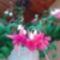 Futó fukszia virág