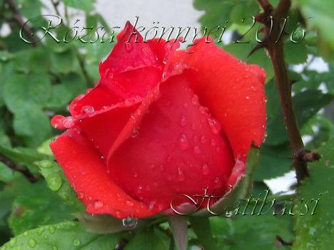 Rózsa-könnyei