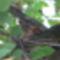 Ablakunkból júliusban-mókus kukucskál a fáról