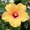 Gambar-Bunga-Sepatu-Kuning-Close-Up (1)