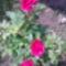 Rozsa-001_1998701_9241_s