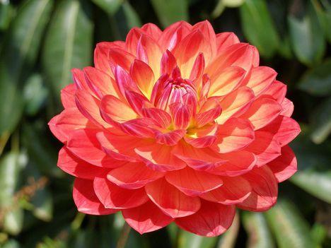 dalia-importada-sortida-sementes-flor-pra-mudas-D_NQ_NP_7979-MLB5305023334_102013-F
