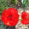 a piros tulipán mégegyszer