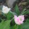 a rongyos tulipánjaim