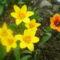 az elsö tulipánjaim