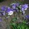 Dupla virágú harangláb