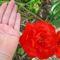 hatalmas piros szépség--tulipán