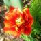 Mégegy tulipán