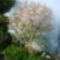 virágzik a japán cseresznye