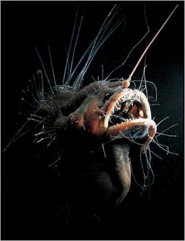 Legyezőúszós tengeri ördöghal