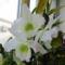Dendrobium nobile hibrid 4