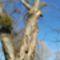 Látványos, égre meredő száraz fák a Mosoni-Duna jobb partján. Mosonmagyaróvár 2019.12.08.-án 1