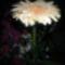 Viraggal_koszontelek_1_2112730_2015_s